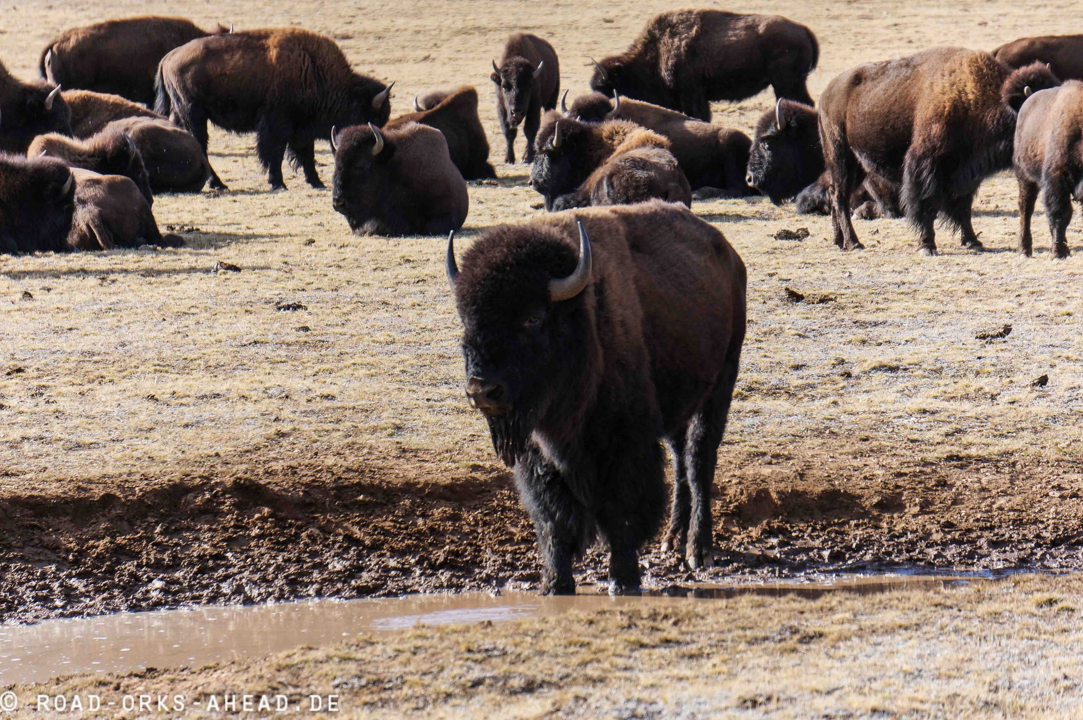 Bison Herde Grand Canyon