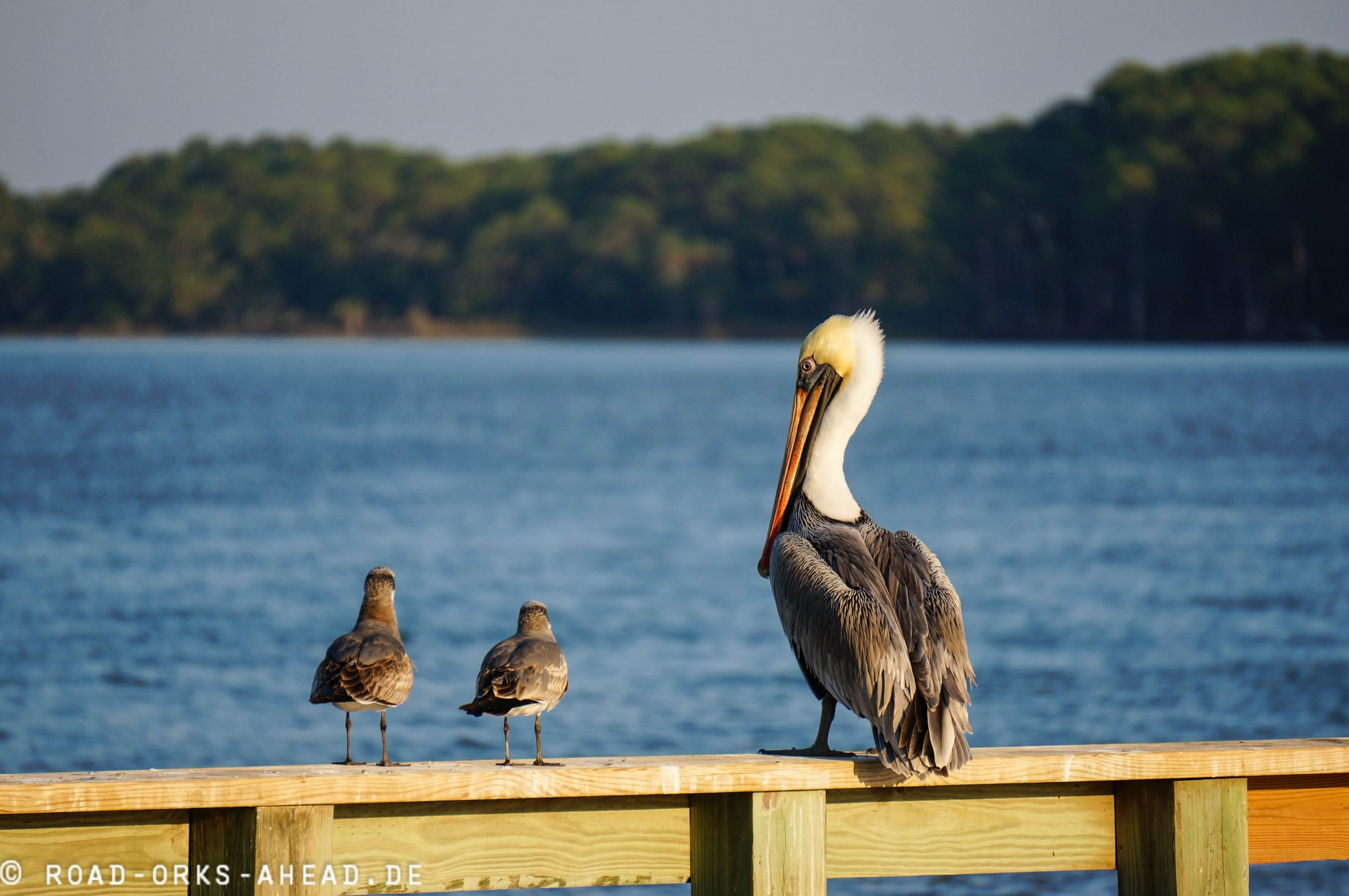 Pelikan mit Freunden