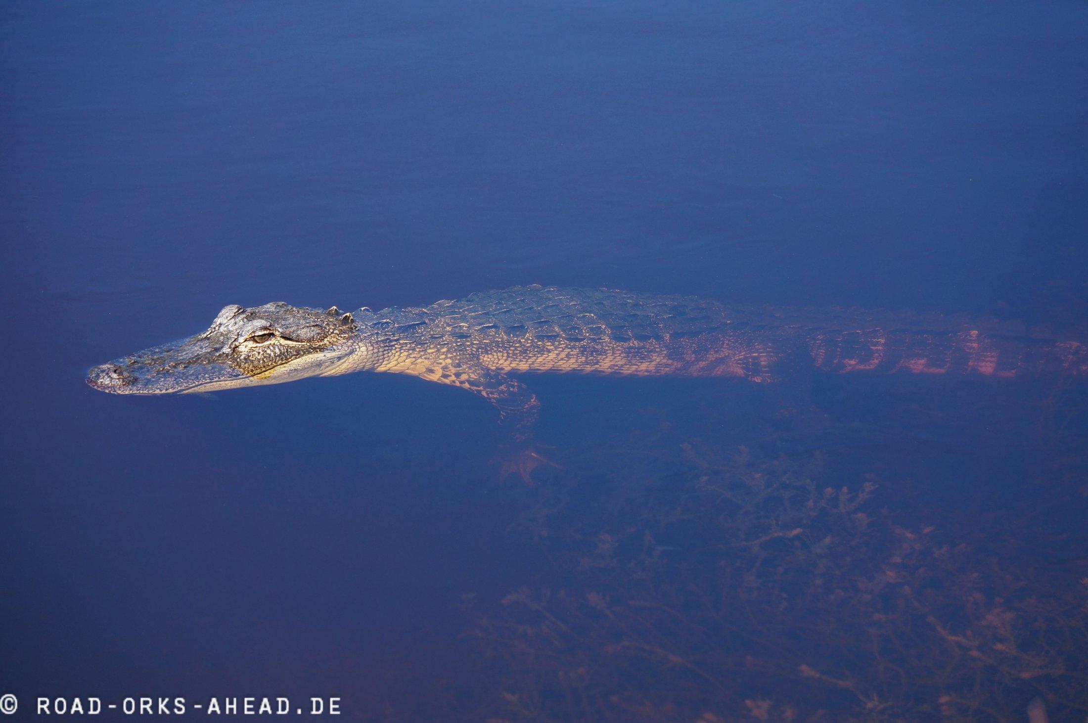 Alligator aber nen kleiner