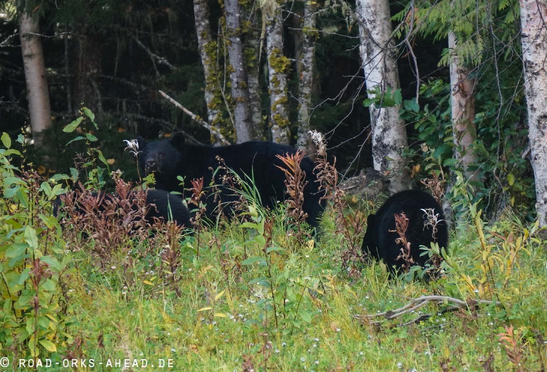 Schwarzbärenfamilie