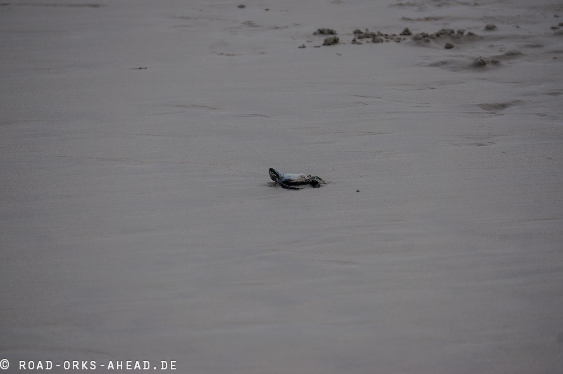 Meeresschildkrötenbaby