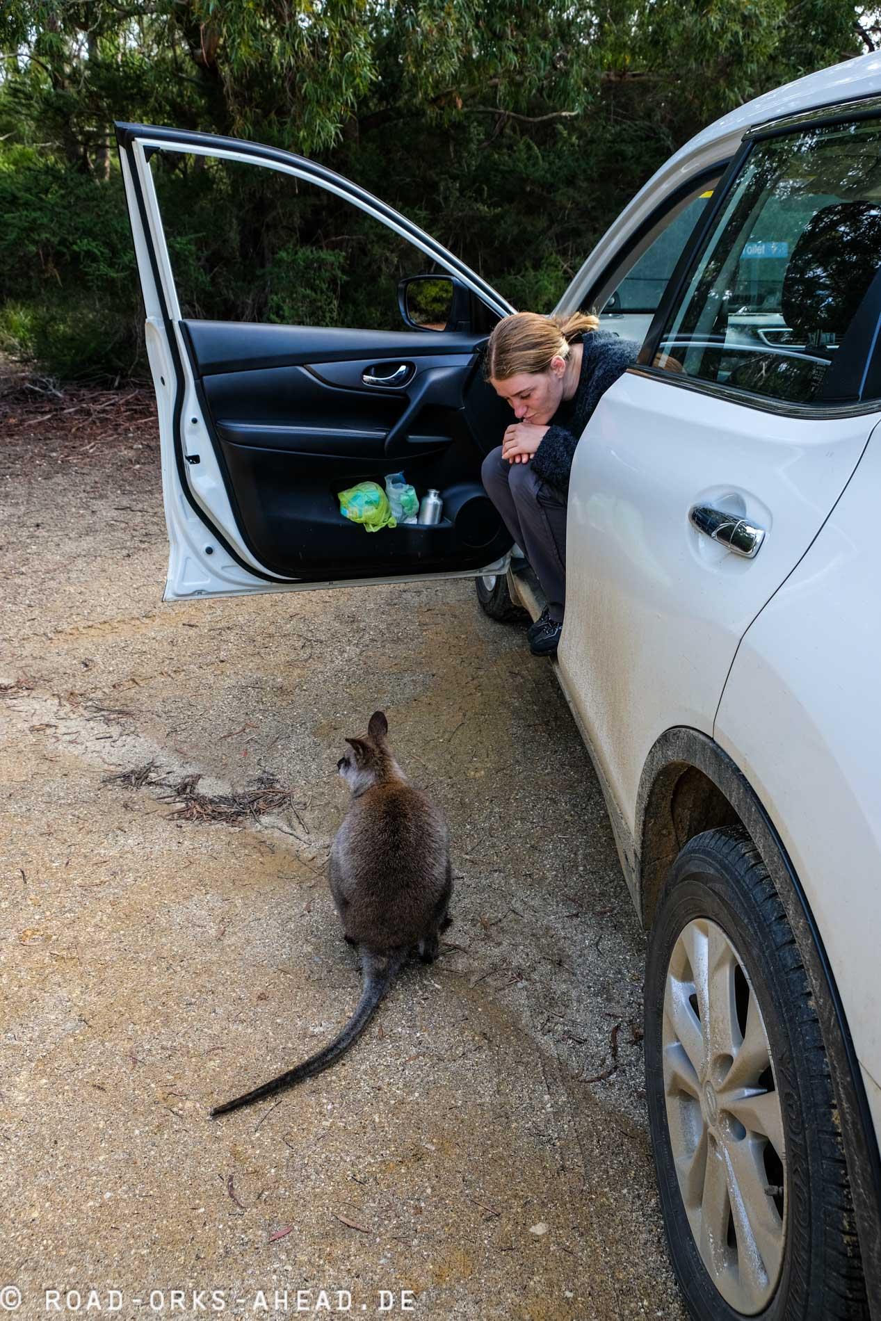 Forester Känguru, so gar nicht schüchtern