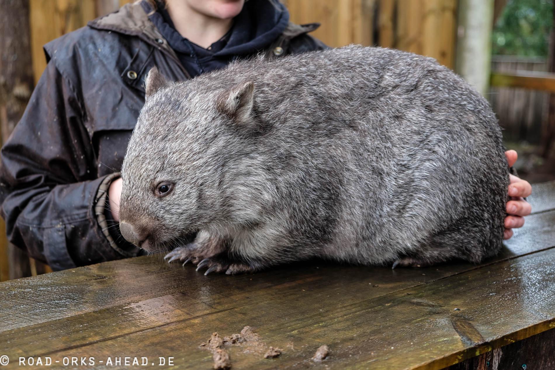Wombat, Trowunna Wildlife Park