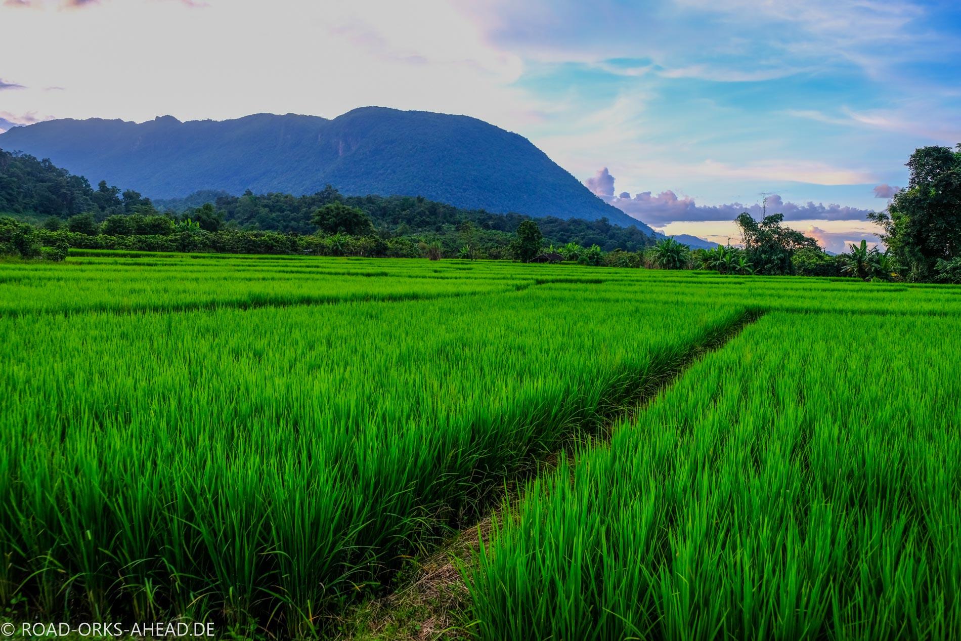 Reisfelder nahe Chiang Dao