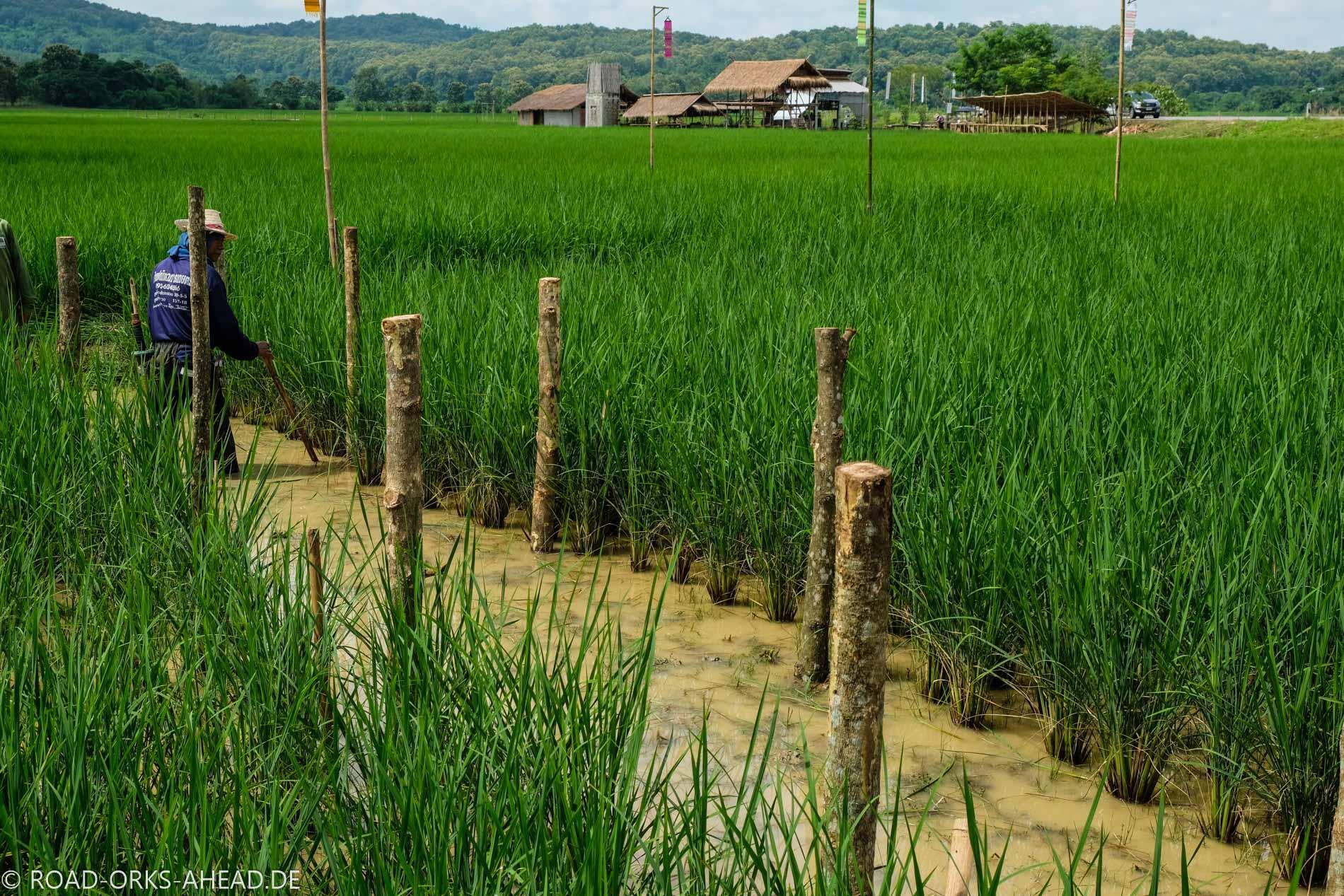 Reisbauern bei der Arbeit