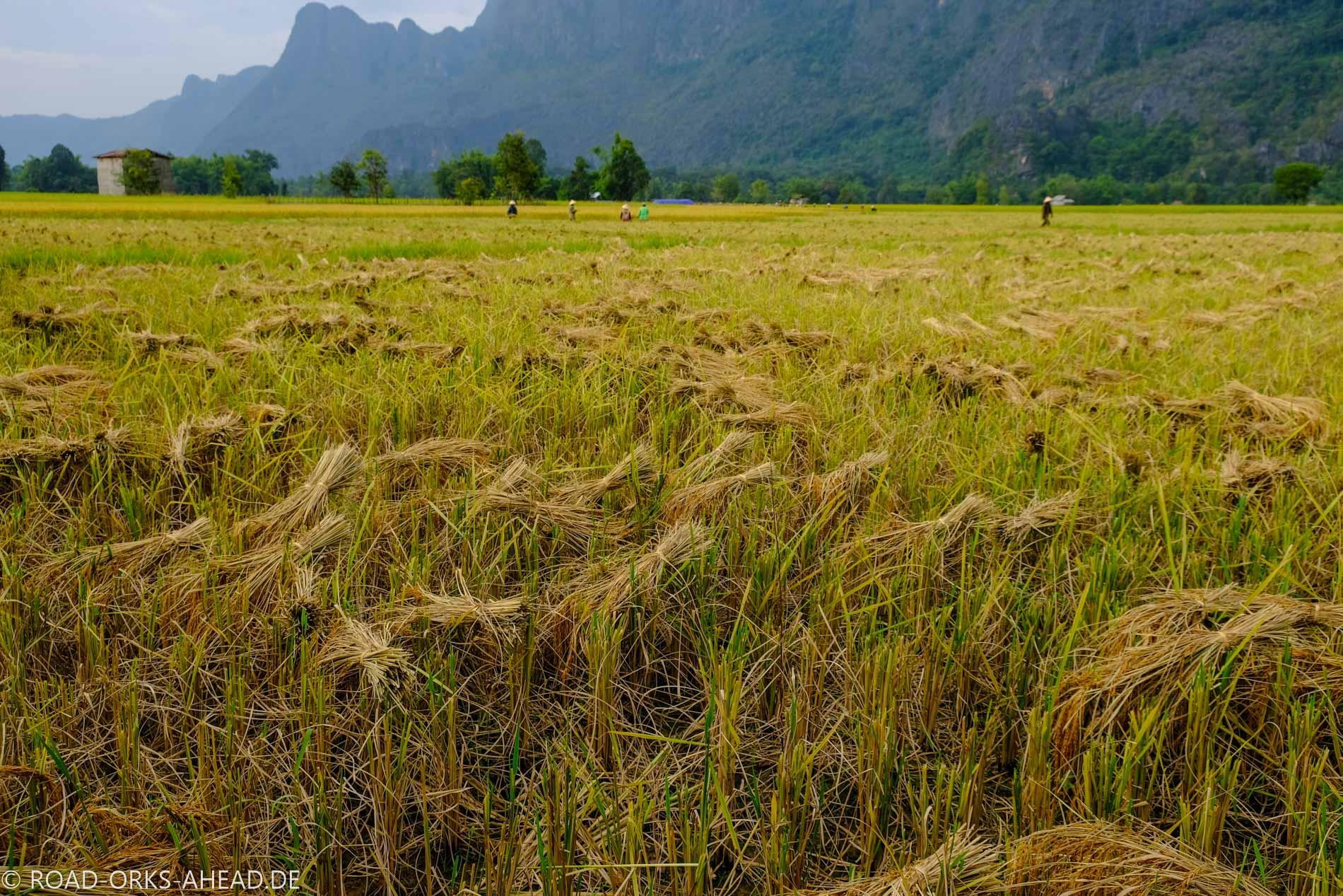 Der Reis wird gebündelt und getrocknet