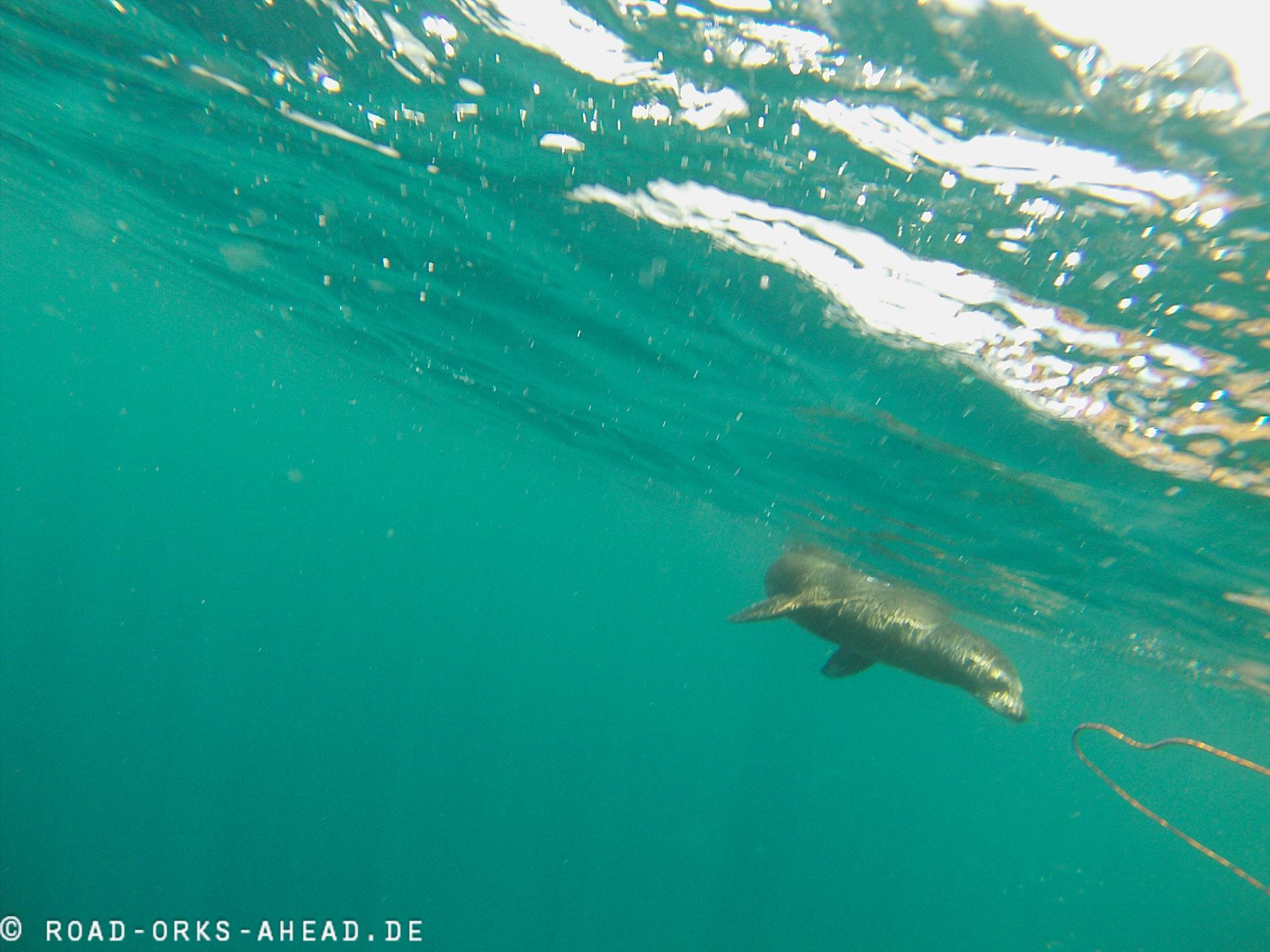 Schnorcheln mit Seelöwe