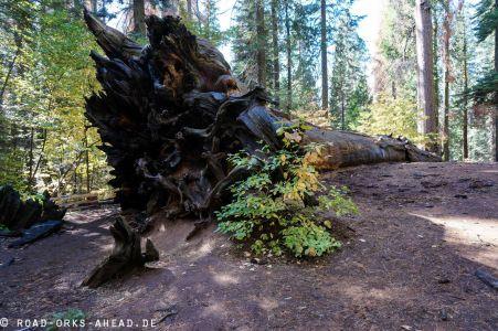 Redwood überstehen...