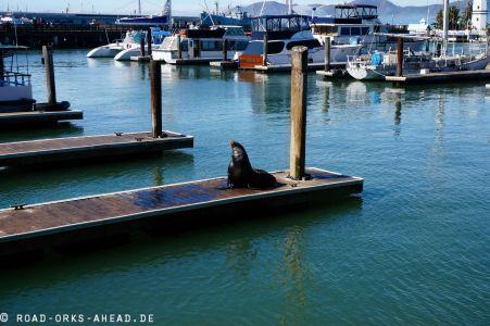 Seals auf dem Pier