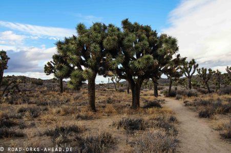 Joshua Trees sind eine...