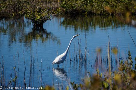 Egret auf der Jagd