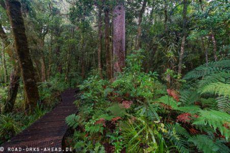 Kauri im Waipoua Forest