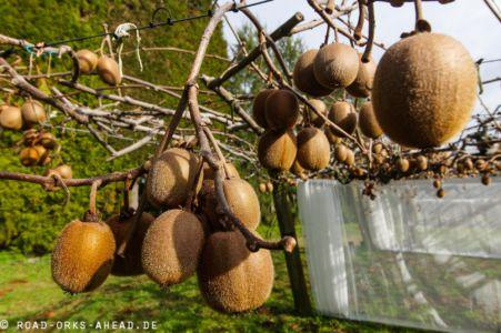 Auf der Kiwiplantage