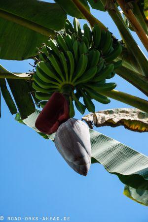 Allgegenwärtig...Bananen