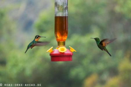 Kolibris in Action