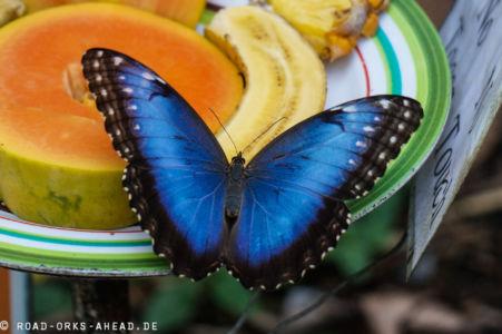 Blauer Morpho