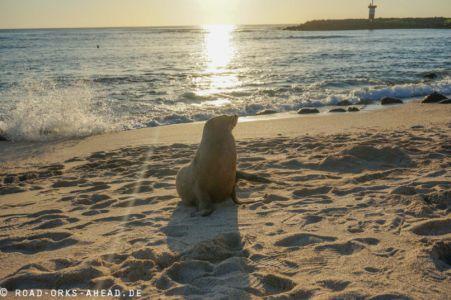Auch die Seelöwen mögen den Sonnenuntergang