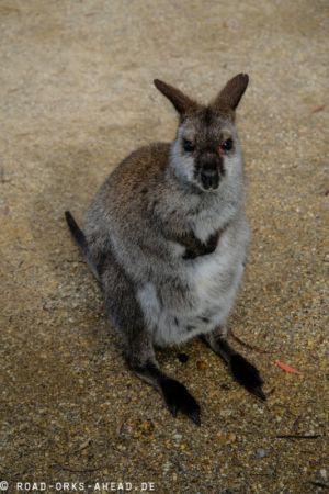 Kleines Forester Känguru