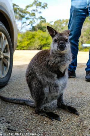 Füttern verboten, Forester Känguru