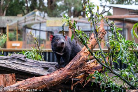 Tasmanischer Teufel, Trowunna Wildlife Park