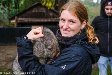 Ein Wombat auf dem Arm, ziemlich schwer