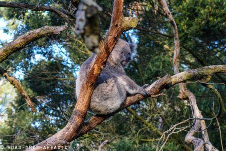 Phillip Island - Koala Conservation Center