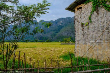 Reisernte Laos