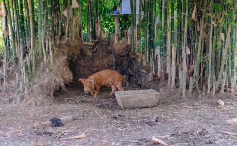 Hausschwein - 4000 Inseln